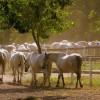 Herghelia de la Sâmbăta de Jos, raiul cailor lipițani!