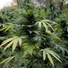 Beneficiile ascunse ale marijuanei