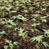 Trei elevi din Suceava au cultivat cannabis!