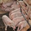 Focar de pestă porcină, lângă România