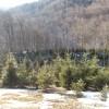 Romsilva a pus în vânzare 83.000 de pomi de Crăciun