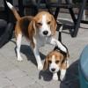 Câinii oferă protecție contra eczemelor și a astmului