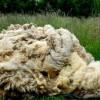Opt centre regionale de preluare a lânii, înființate